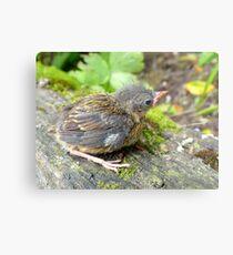 I'm A Beautiful Little Ugly.. Dunnock Hedge Sparrow - NZ Metal Print