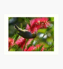 I Know It's In Here Somewhere!! - Silver-Eye On Bottle Brush - NZ Art Print