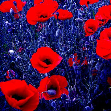 Poppies by pautrat