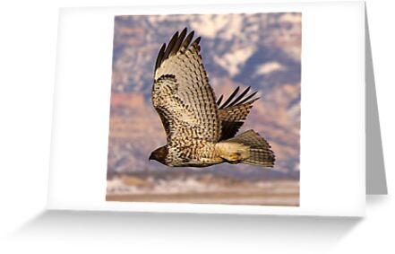 Red Tailed Hawk by Tim Harper