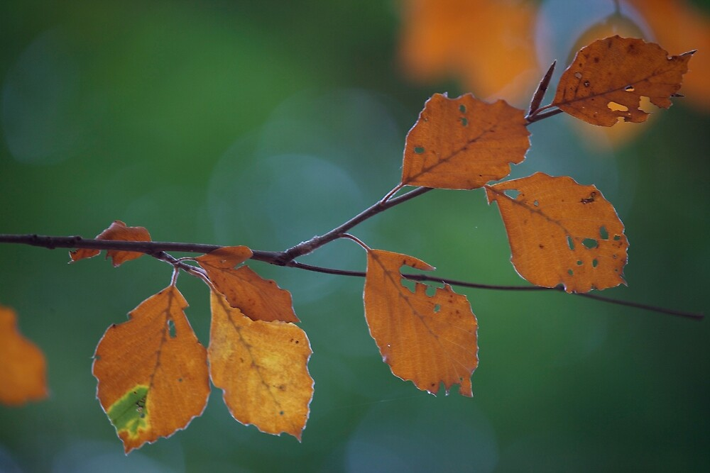 Beech Leaves by CaptMoose