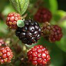 blackberries by bubblebat