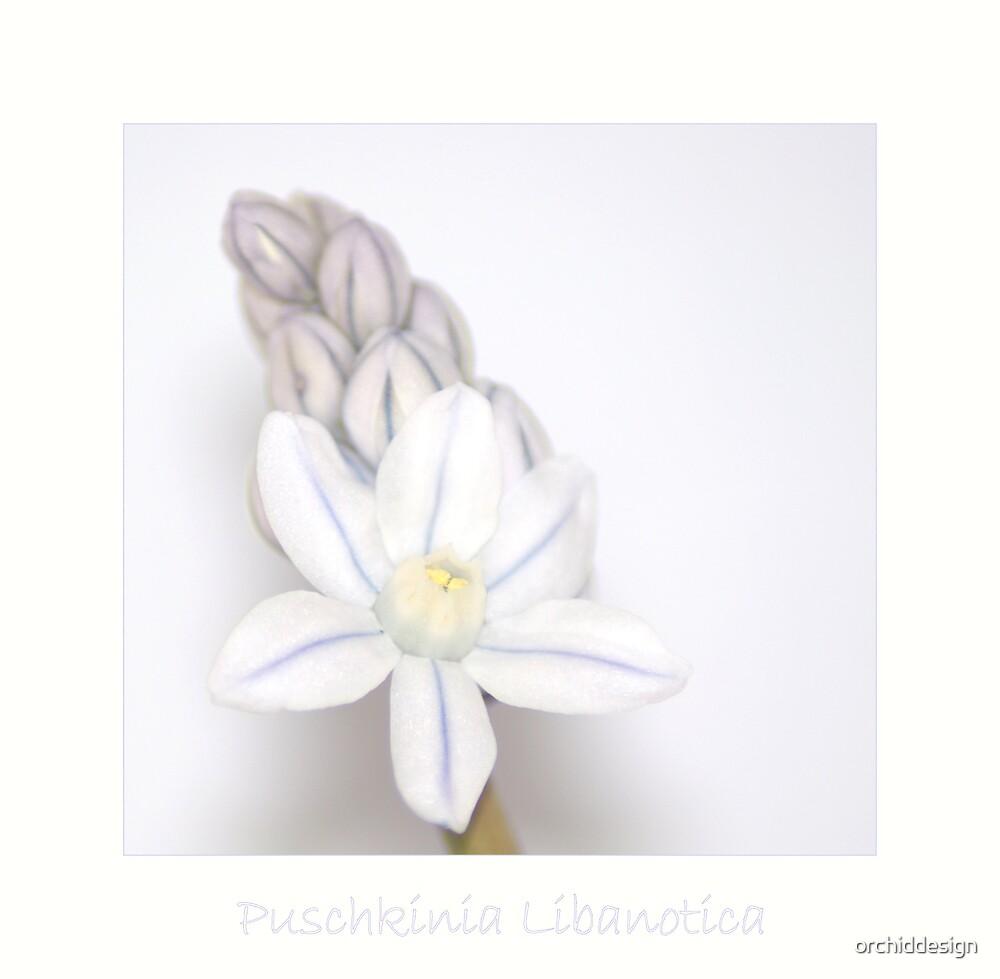 Puschkinia by orchiddesign