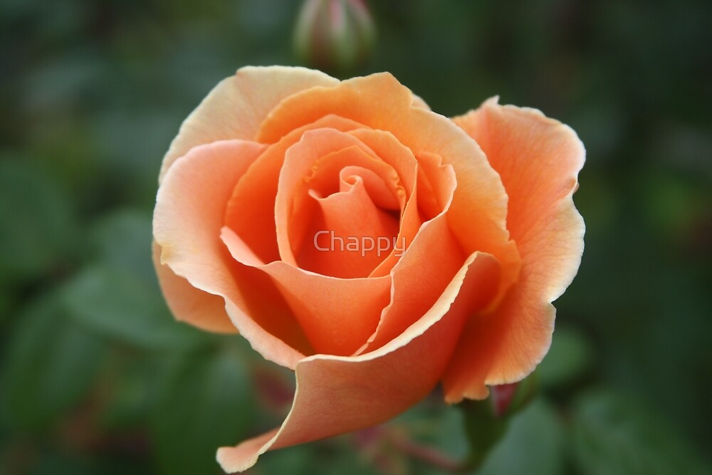 Tangerine Delight by Chappy