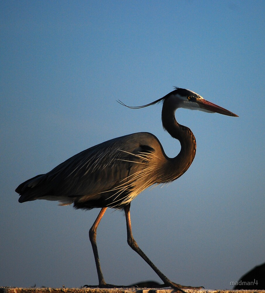 Great Blue Heron  by madman4