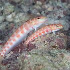 Red-spotted Sandperches by Mark Rosenstein