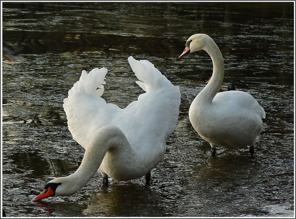 a swan bow to all by iravande