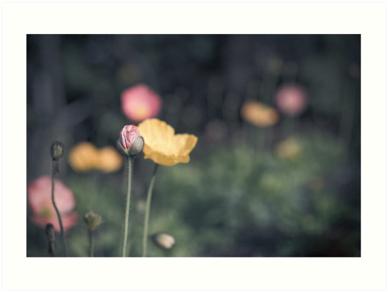 Poppies by CatherineYang