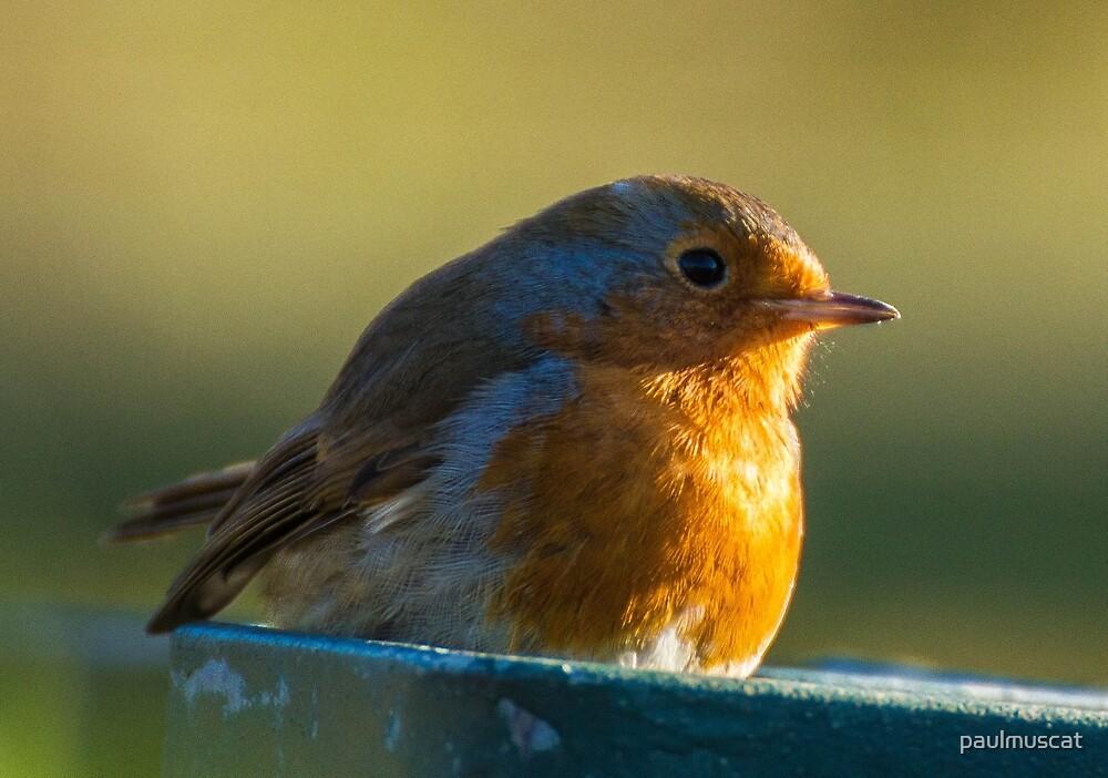 Robin Redbreast by paulmuscat