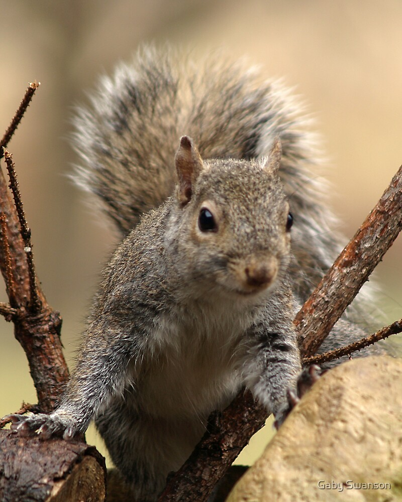 Grey Squirrel by Gabriele Swanson