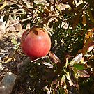 The Largest Pomegranite on small Shrub In my Garden. by Rita Blom