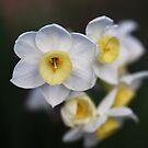 Beautiful White Jonquil Flowers by Joy Watson
