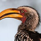 Yellow billed hornbill up close by Anthony Goldman