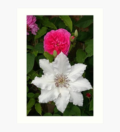 Rose & Clematis Art Print