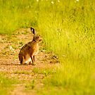 Hare looking  by yampy