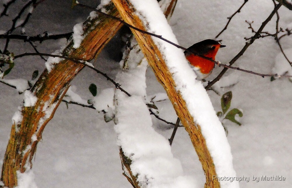 Robin Redbreast by Photography  by Mathilde