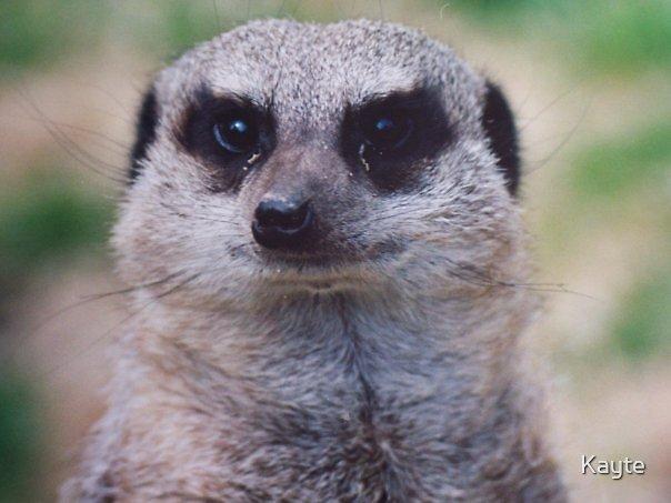 Meerkat by Kayte