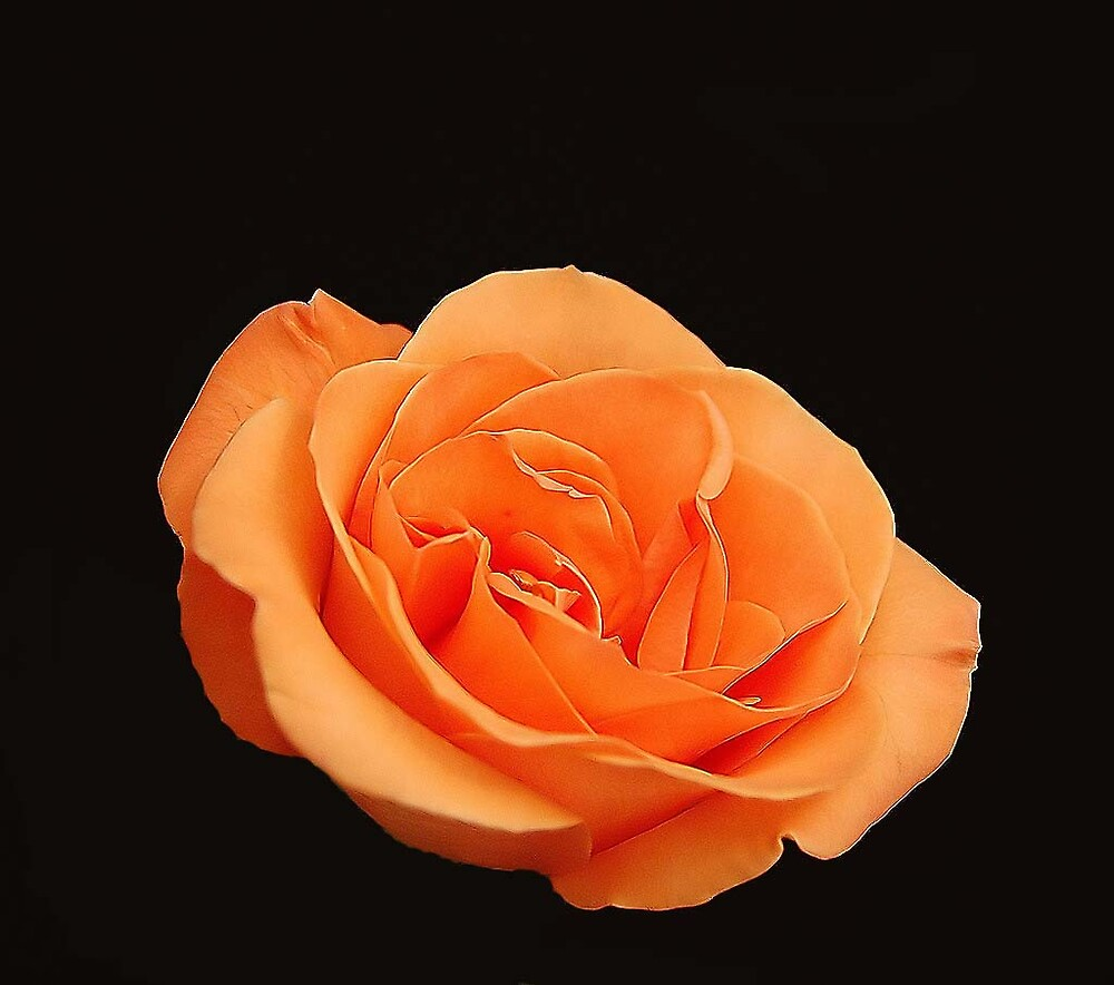 Orange Rose by terrylazar