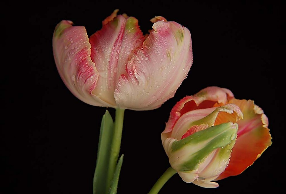 Parrot Tulips by terrylazar