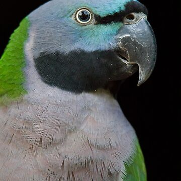 Lord Derby's parakeet by domcia