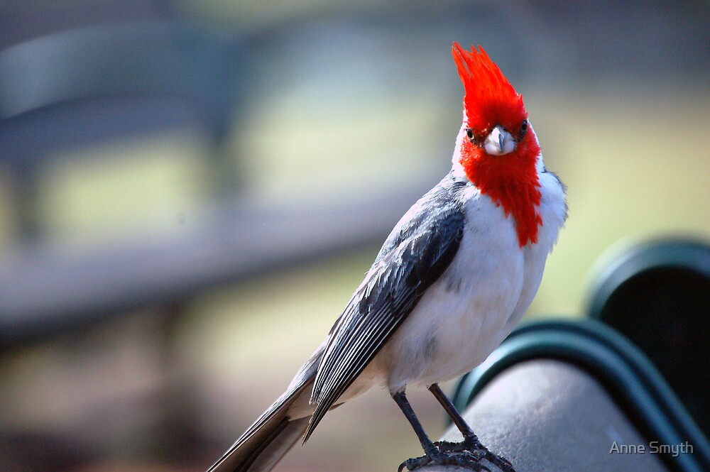 Crested Cardinal 1 by Anne Smyth