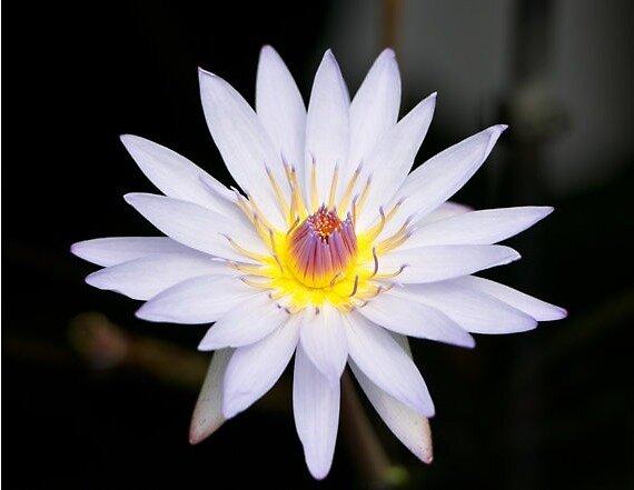 Lily by HauteAngel
