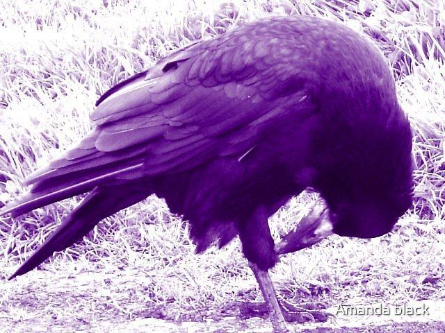 the crow by Amanda black