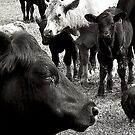 Cows on the farm by jammingene