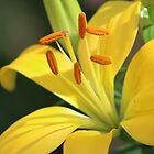 Yellow  Flower by Laura Puglia