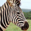 Zebra Stripes by Stephanie Perry