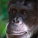 Old Chimp by Janine  Hewlett