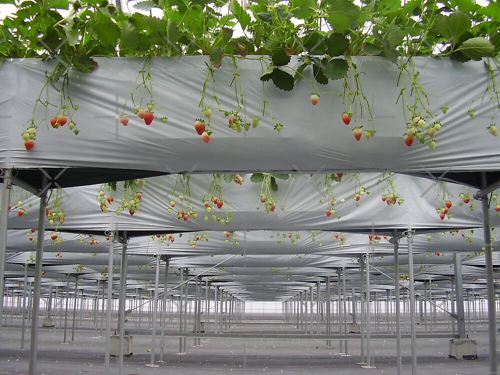 Strawberry Fields Forever by Prue Pisani