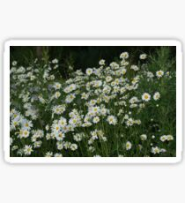 Fresh as a Daisy, Field of Daisies Sticker