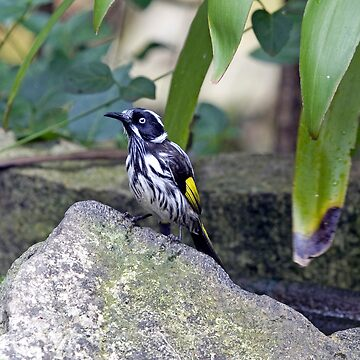 new holland honeyeater by shirleyscott