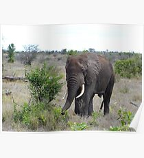 I Hear The African Continent - Elephant - Kruger National Park Poster