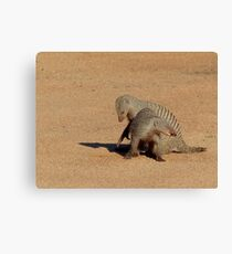 Aww... Aren't You Going To Share That!! - Banded Mongoose - Mabalingwe Nature Reserve Canvas Print