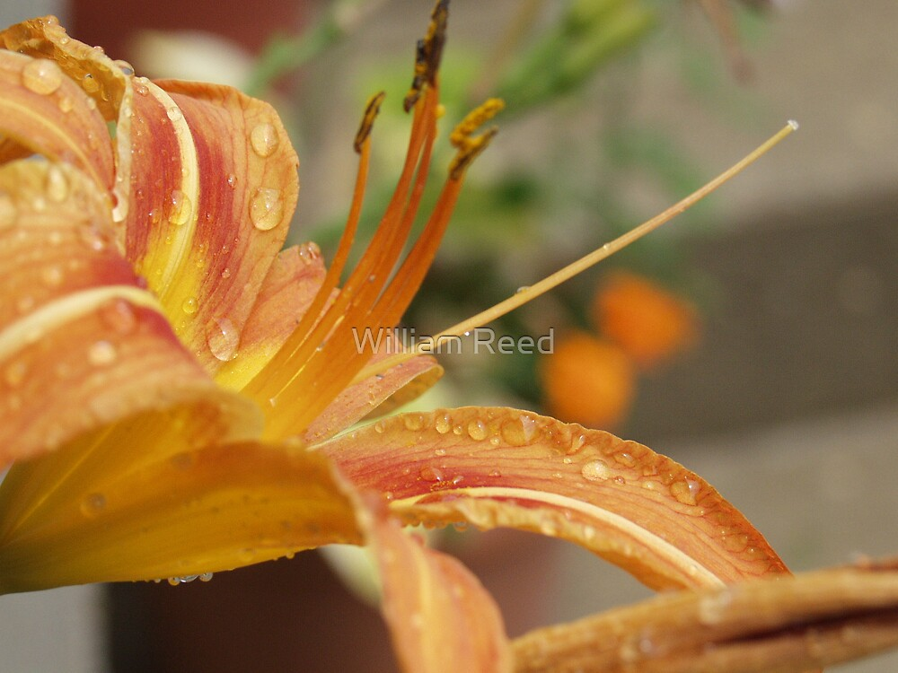 Golden Lilly by William Reed
