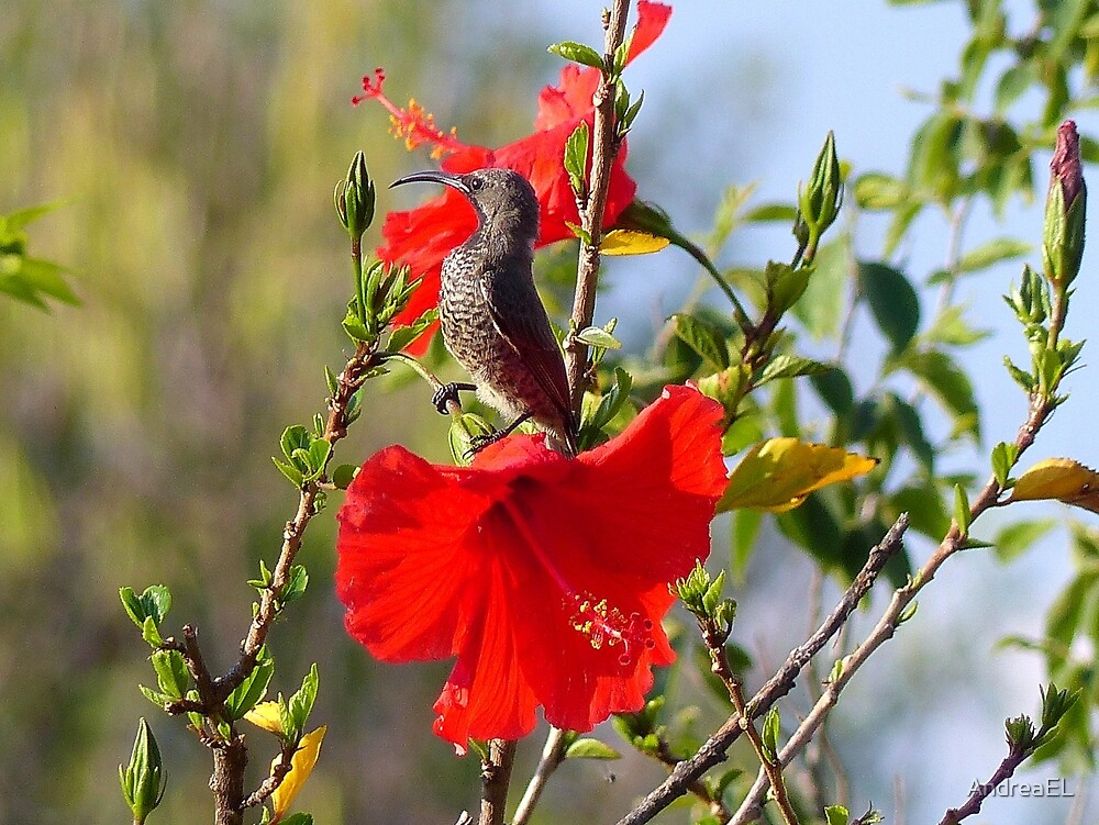 Hibiscus Heaven - Sunbird - SA by AndreaEL