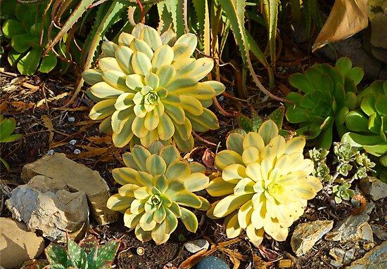 Succulent Blooms by Robert Meyers-Lussier