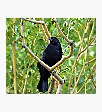 Black Crown in Tree Photographic Print
