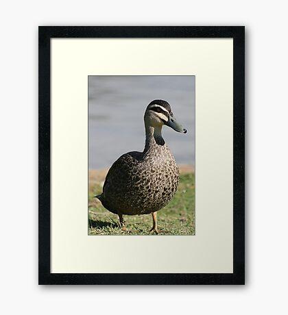Duck walk Framed Print