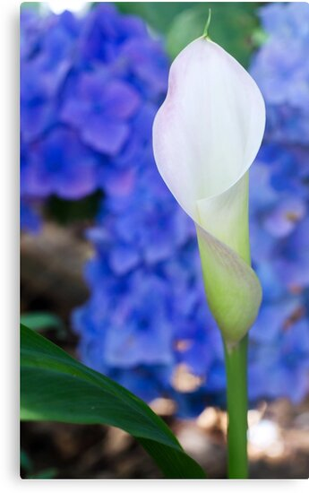 Calla Lily  by caths13