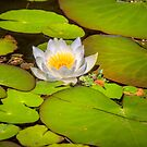 Water Lily by Dave Hare