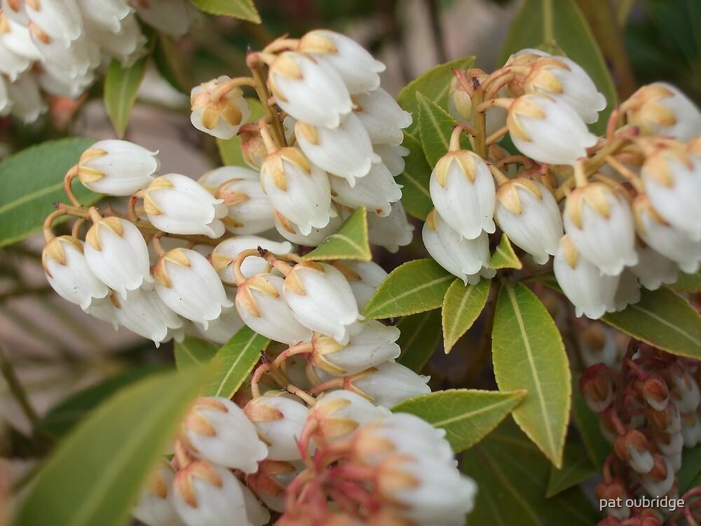 Spring Growth on Pieris by pat oubridge