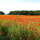 Sea of Normandy Poppies by Alex Cassels