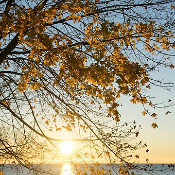 Brilliant Yellows and Blues - the Golden Maple on the Lake Shore by GeorgiaM