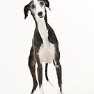 Iola the Galgo by homesick