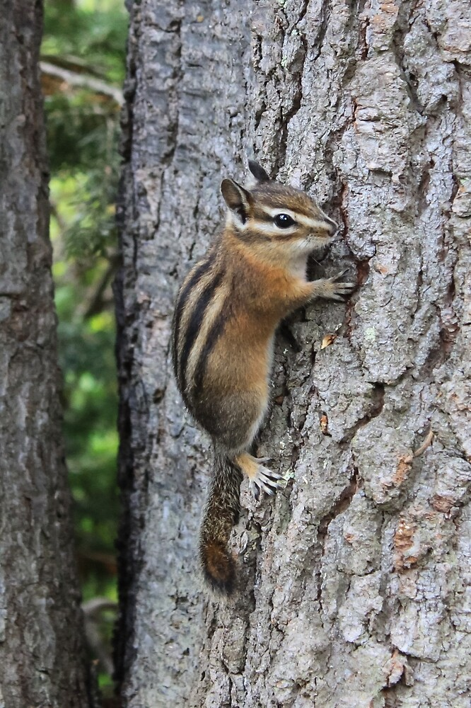 Chipmunk on Tree Trunk by journeysincolor