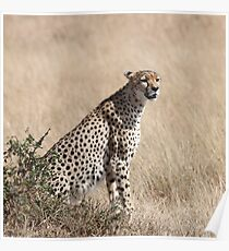 Cheetah, Maasai Mara, Kenya Poster