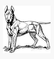 Bull Terrier Photographic Print